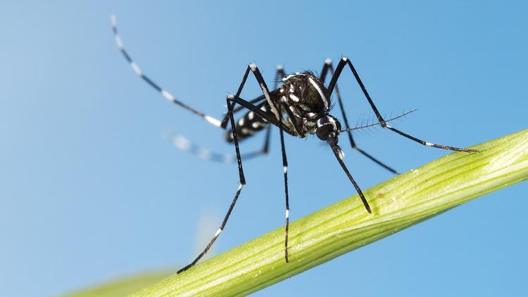 """Europa en alerta por la llegada del """"mosquito tigre"""", capaz de transmitir 22 tipos de virus"""