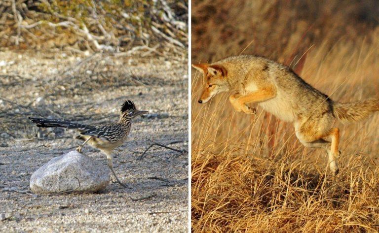 Así es la persecución de un coyote a un correcaminos en la vida real